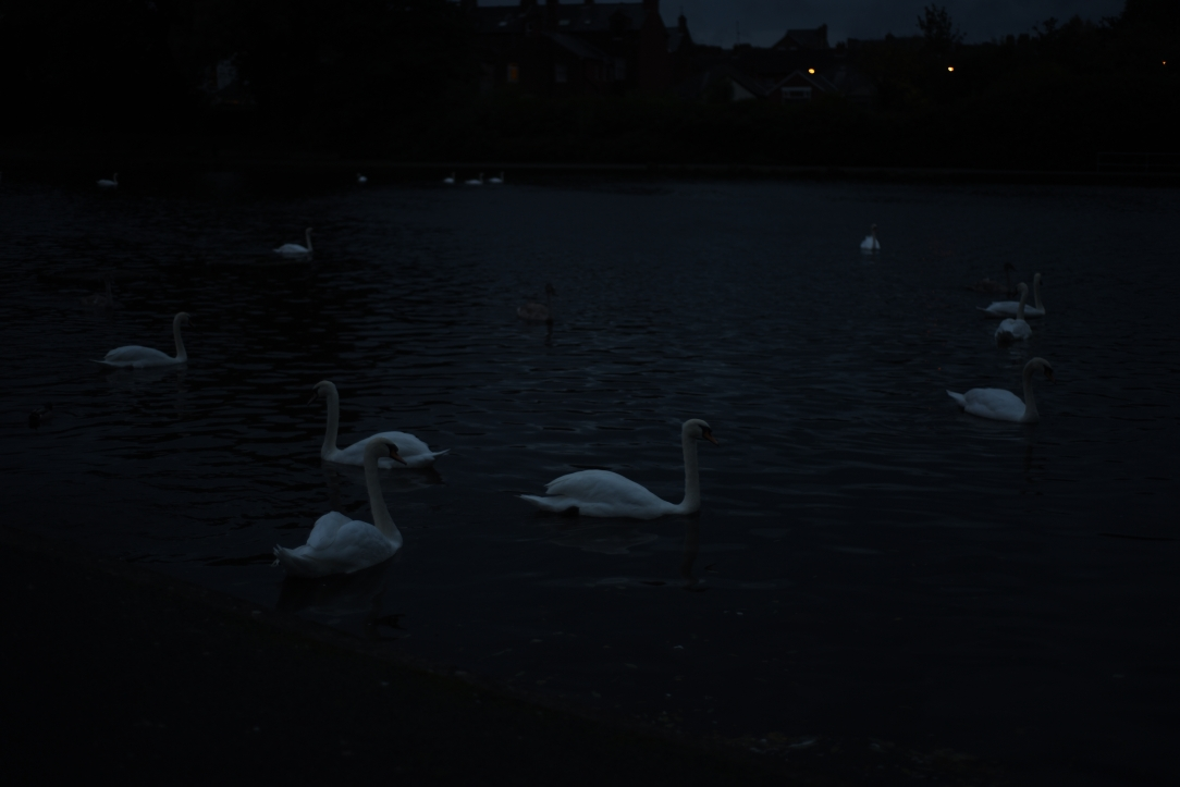 Swans in a pond.